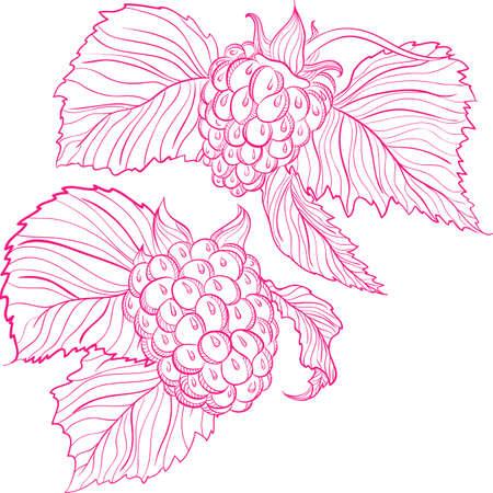 attribute: Vector monochrome illustration of raspberries Illustration