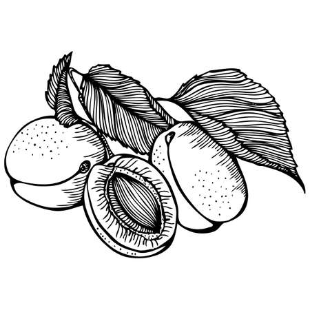 apricot: Vector monochrome outline drawing with apricot fruits