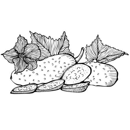 cucumbers: Monochrome vector drawing of cucumbers on white background Illustration