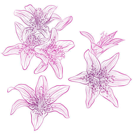 Vector illustration in line art style. Set of flowers of Lilies isolated on white background. Hand drawn botanical picture