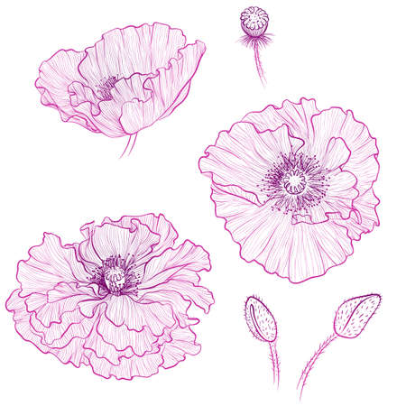 Vector illustration in line art style. Set of flowers of Poppies isolated on white background. Hand drawn botanical picture