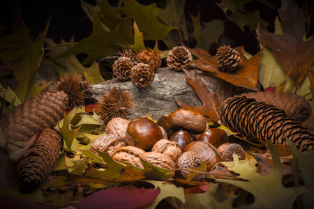 bur: Autumnal still life composition with green, yellow, brown, orange and red leaves, sprigs, pine cones, dry fruits (chestnuts, chestnuts bur, walnuts and hazelnuts) and a stone. Black background.