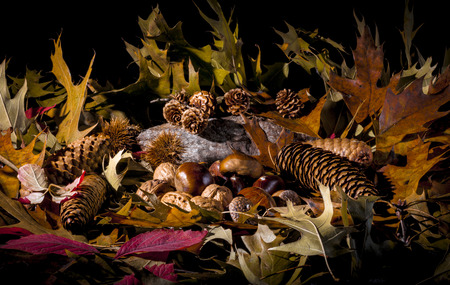 Autumnal still life composition with green, yellow, brown, orange and red leaves, sprigs, pine cones, dry fruits (chestnuts, chestnuts bur, walnuts and hazelnuts) and a stone. Black background. photo