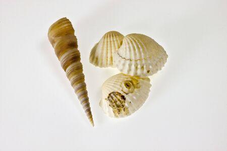 Las conchas de mar sobre fondo blanco
