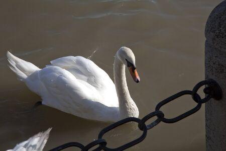 cisnes en el r�o Danubio