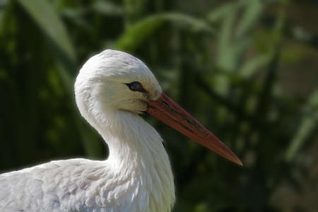 Portrait of the stork