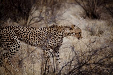 Cheetah in Kenia (Acinonyx Jubatus) Stock Photo