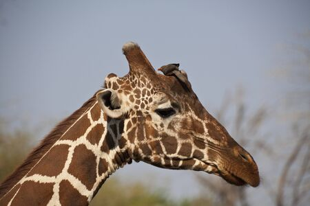 Jirafa Camelopardalis en Safari