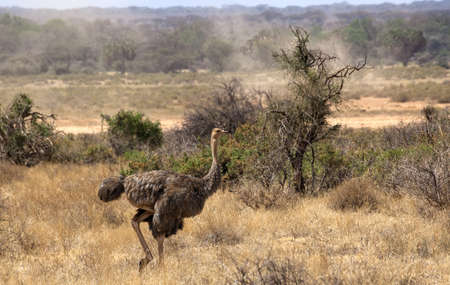 African Ostrich (struthio camelus) safari in Kenia