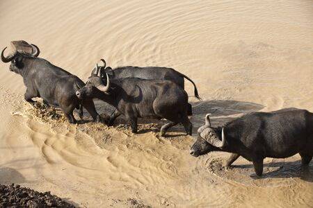 African buffalo safari in Kenya photo