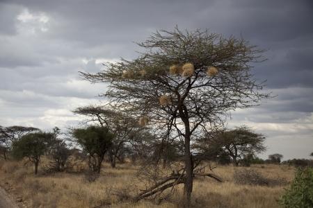 Weaver birds in Kenya (ploceidae sundevall)
