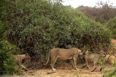 African Lion in Kenya ( Panthera Leo)
