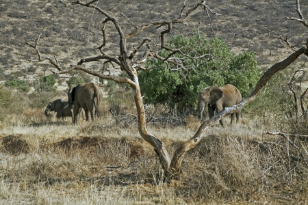 African Elephant in Kenia (Loxodonta Africana)