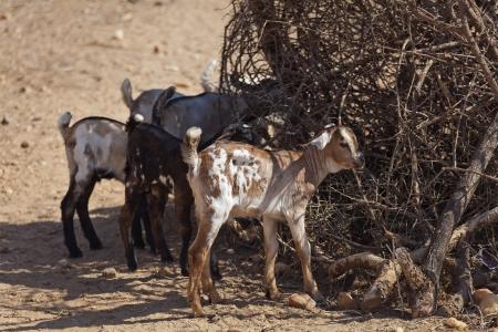 samburu: goats in the Samburu village in Kenya Stock Photo