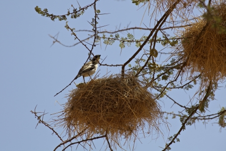 Weaver birds in Kenya (ploceidae sundevall) photo
