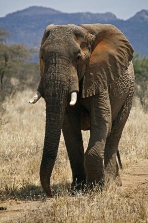 Elefante africano en Kenia (Loxodonta Africana)