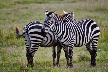 Zebra in Kenia (Equus Burchelli) photo