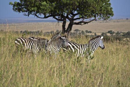 Zebra in Kenia (Equus Burchelli)