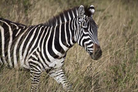 Zebra en Kenia (Equus burchelli)