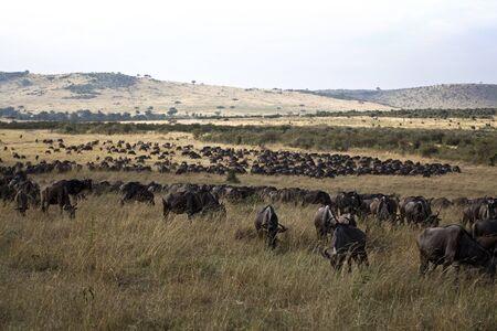 maasai mara: Blue wldebeest in Kenya (Connochaetes taurinus) Stock Photo