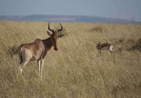 Antelope African safari in Kenya