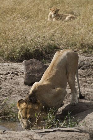 africat: African Lion in Kenya   Panthera Leo