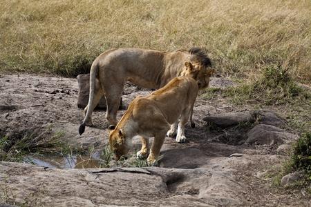 African lions in Kenya  Panthera Leo