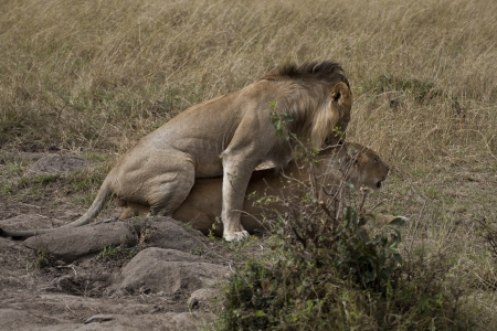 africat: Pair of lions in love in Kenya  Panthera Leo  Stock Photo