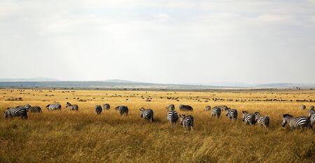 Zebra in Kenia  Equus Burchelli  Stock Photo