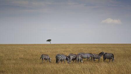 Zebre en Kenia Equus Burchelli