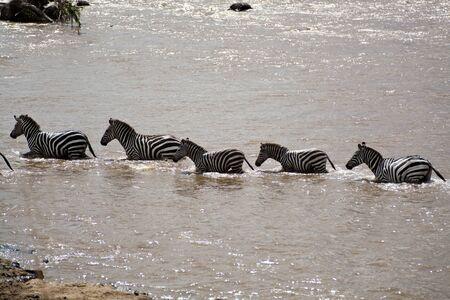 Cebras en el vado en Kenia Equus Burchelli