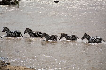 Zebras at the ford in Kenya  Equus Burchelli  Stock Photo