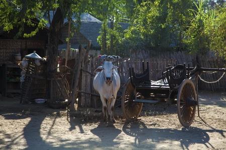 Myanmar buey en el pueblo