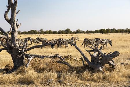 savana: Zebras in Namibia, Africa