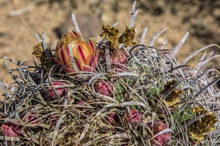 Desert Saguaros, Scottsdale, Arizona Stock Photo
