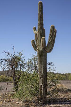 scottsdale: Desert Saguaros, Scottsdale, Arizona Stock Photo
