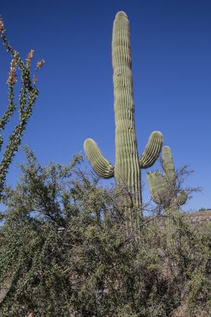 Desert Saguaros, Scottsdale, Arizona Stock Photo