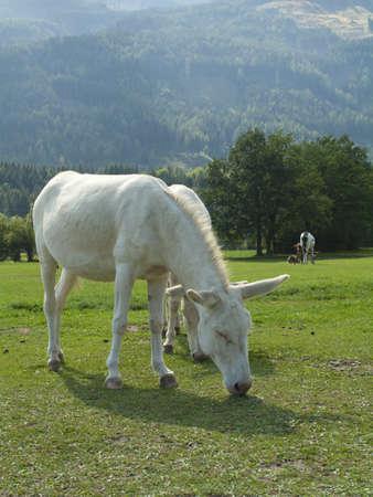 cow teeth: White Donkey