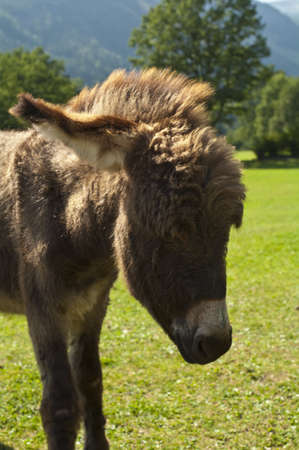 Baby Donkey  Carinthia, Austria  Stock Photo