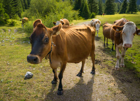 Cows on pasture in the Alps Stock Photo