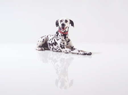 Dalmatian lying down in front of black background, studio shot.  photo