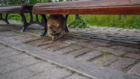 Raccoon in hiding Imagens