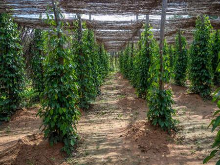 Pepper plantation