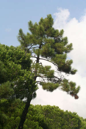 pinetree against the sky