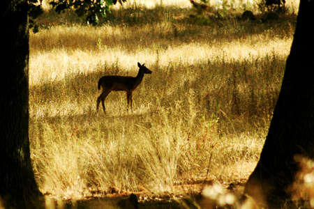 silhouette of a young deer in the forrest