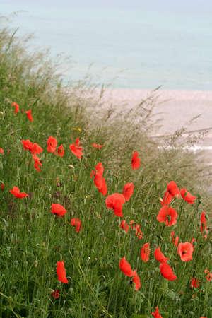 poppies near the shoreline