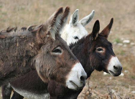 three curious donkeys Stock Photo