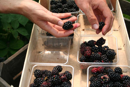 collecting blackberries Stock Photo