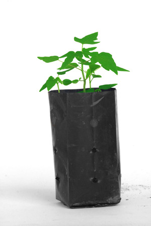 Young papaya plant in plastic planting bag isolated on white background  photo