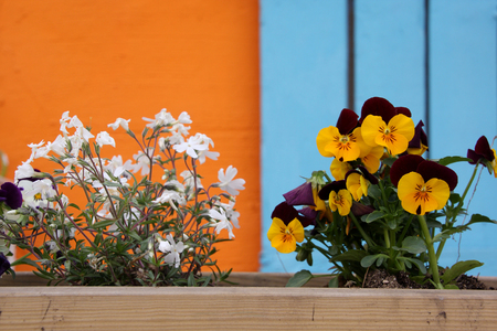 White and yellow flowers in wooden pot with orange and blue background photo
